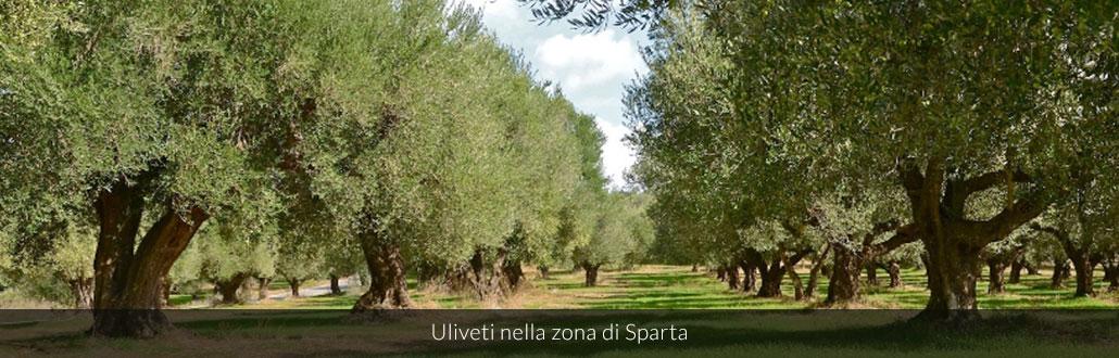 Uliveti nella zona di Sparta