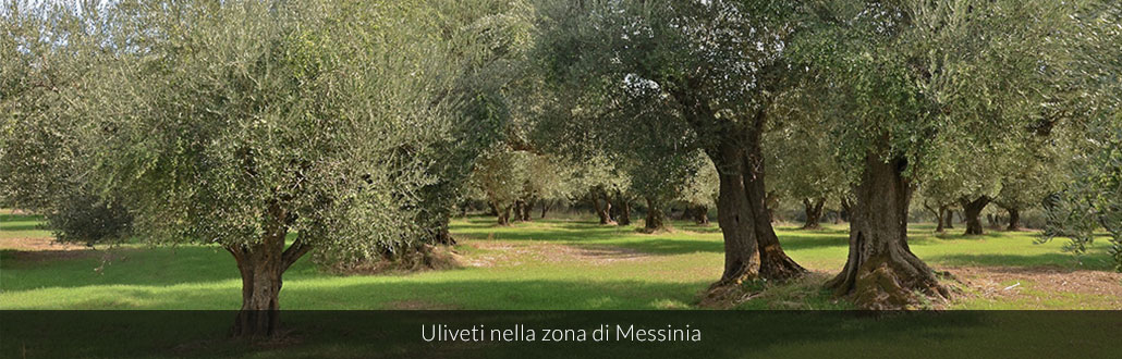 Uliveti nella zona di Messinia
